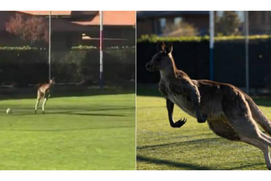 Australian Football Match Held Up 32 Minutes As Rampaging Kangaroo